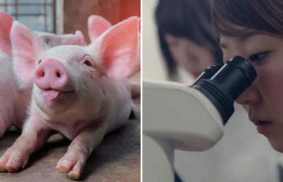 Frankensteins created pigs with human-bodies