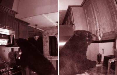 In the US, five o'clock bear trashed the kitchen in search of food