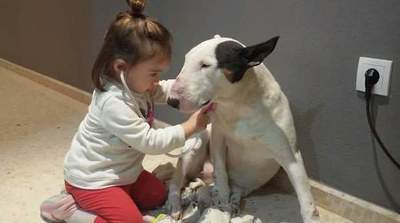 Little girl plays in the doctor with his bull terrier