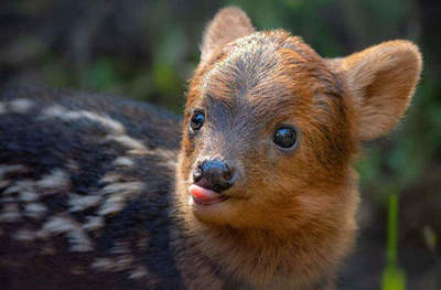 Pudu - the tiniest in the world of deer
