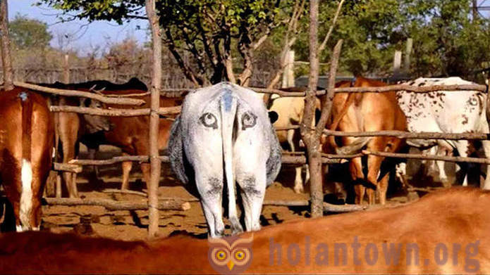 Why the Botswana cows eyes on both sides of the tail