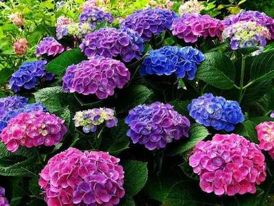 How to grow beautiful hydrangea?