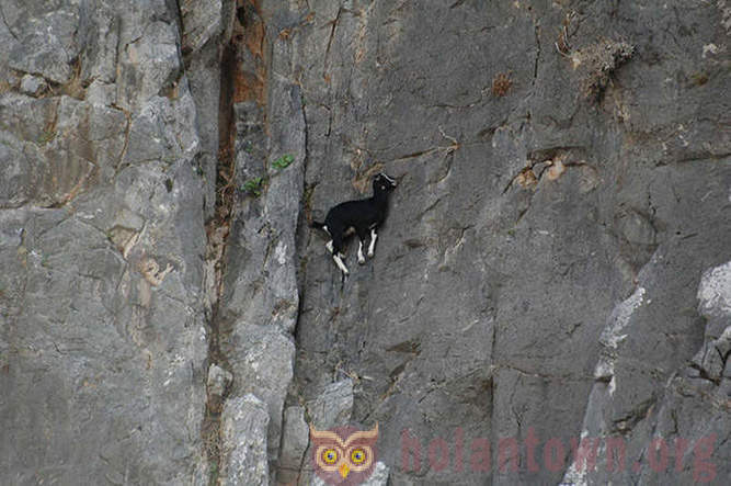 Goats, which is not the knowledge of a fear of heights