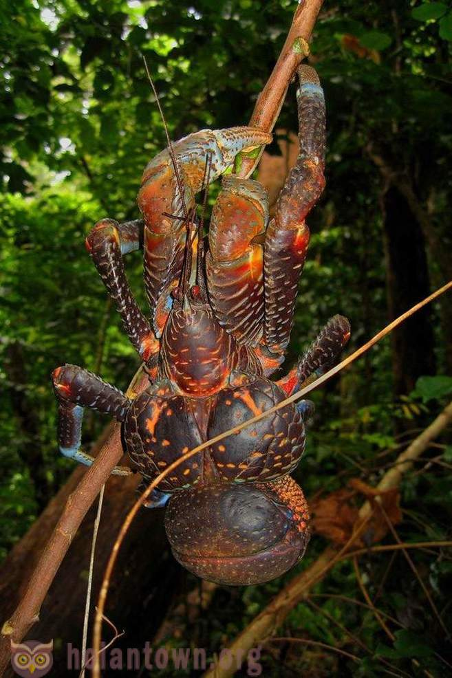 The largest of the arthropods - coconut crab