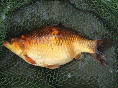 Crucian Gold: Fishing, photos and description